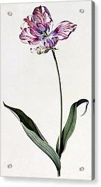 Tulip Acrylic Print by Georg Dionysius Ehret