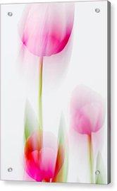 Tulip Impressions  Acrylic Print