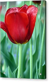 Tulip Acrylic Print by Michelle Joseph-Long
