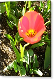 Acrylic Print featuring the photograph Tulip Opening by Kicking Bear  Productions