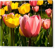 Tulip Pastels Acrylic Print by Charlet Simmelink