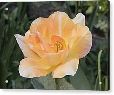 Tulip Peach Melba Acrylic Print by Sergey Lukashin