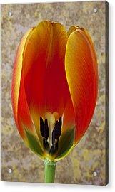Tulip Petals Acrylic Print by Garry Gay