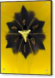 Tulip Pixie Acrylic Print by Daniel G Walczyk