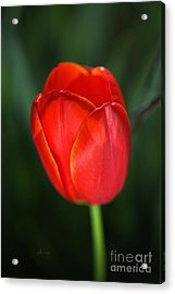 Tulip Red With A Hint Of Yellow Acrylic Print