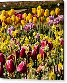 Tulip Spring Acrylic Print