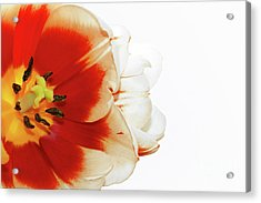 Tulip Statement Acrylic Print by Afrodita Ellerman