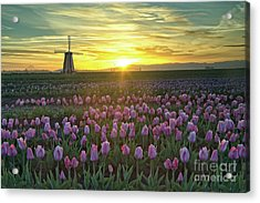 Acrylic Print featuring the photograph Tulip Sunrise by Craig Leaper