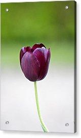 Tulip Acrylic Print by Theo Tan