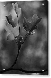 Tulip Tree Leaves In Spring Acrylic Print