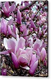 Tulip Tree Acrylic Print by Mark Barclay