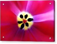 Acrylic Print featuring the photograph Tulip Vivid Floral Abstract by Menega Sabidussi