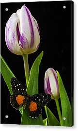 Tulip With Black And Red Butterfly Acrylic Print