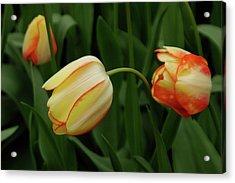 Nodding Tulips Acrylic Print