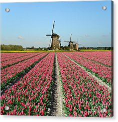 Tulips And Windmills In Holland Acrylic Print