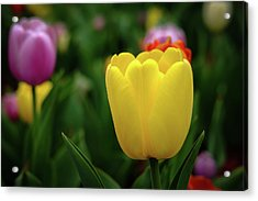 Tulips At Campus Acrylic Print