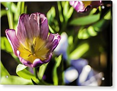 Tulips At The End Acrylic Print