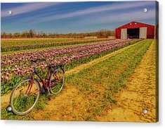 Acrylic Print featuring the photograph Tulips, Bicycle And Barn by Susan Candelario