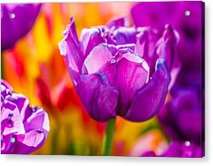 Acrylic Print featuring the photograph Tulips Enchanting 43 by Alexander Senin