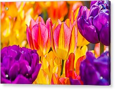 Acrylic Print featuring the photograph Tulips Enchanting 45 by Alexander Senin