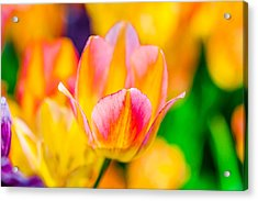 Acrylic Print featuring the photograph Tulips Enchanting 48 by Alexander Senin