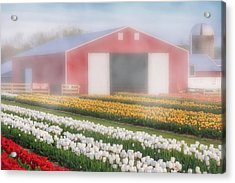 Acrylic Print featuring the photograph Tulips, Fog And Barn by Susan Candelario