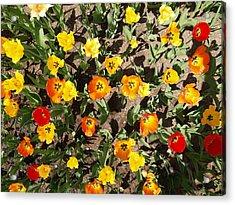 Tulips From A Birds Eye Acrylic Print by Jacob Stempky