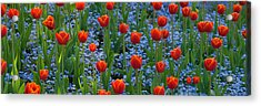 Tulips In A Garden, Butchart Gardens Acrylic Print by Panoramic Images