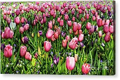 Acrylic Print featuring the photograph Tulips In Bloom by D Davila