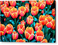 Tulips In Holland Acrylic Print by Gene Sizemore