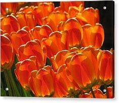 Tulips In Light Acrylic Print