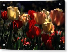 Acrylic Print featuring the photograph Tulips In Morning Light by Michael Flood