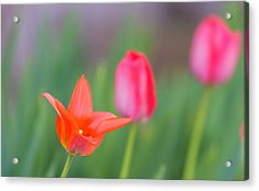 Tulips In My Garden Acrylic Print