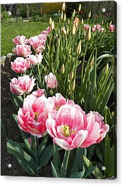 Tulips In Pink Acrylic Print