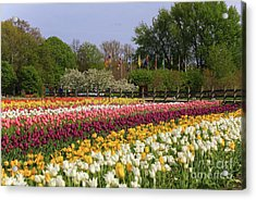 Tulips In Rows Acrylic Print