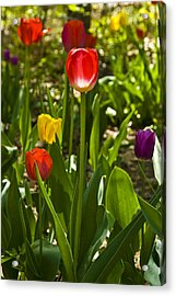 Tulips In The Garden Acrylic Print