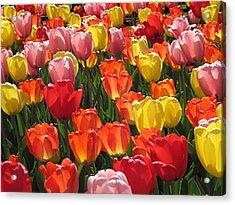 Tulips Like Sunlight Acrylic Print