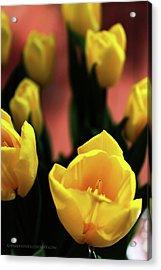 Tulips Acrylic Print by Matt Truiano