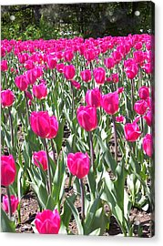 Acrylic Print featuring the photograph Tulips by Mary-Lee Sanders