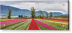 Tulips Of The Valley Acrylic Print by Pierre Leclerc Photography