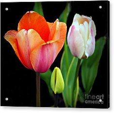 Tulips On Black Acrylic Print