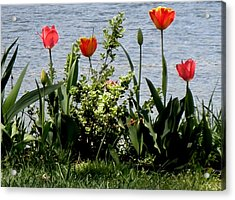 Tulips On The Bay Acrylic Print by Kate Gallagher