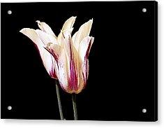 Tulips Acrylic Print by Pat Carosone