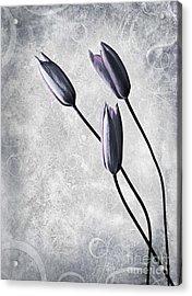 Tulips Acrylic Print by Jacky Gerritsen
