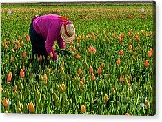 Tulips Picker Acrylic Print