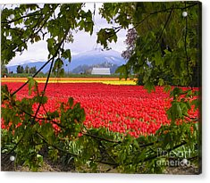 Tulips Secret Window Acrylic Print by Louise Magno