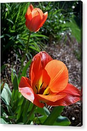 Acrylic Print featuring the photograph Tulips Wearing Orange by Sandi OReilly
