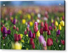 Tulips Acrylic Print by William Lee