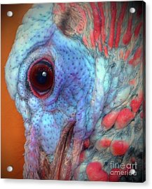 Turkey Head Shot Acrylic Print by Kim Pate