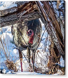 Acrylic Print featuring the photograph Turkey In The Brush by Paul Freidlund